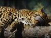 Al Ain Zoo - Leopard